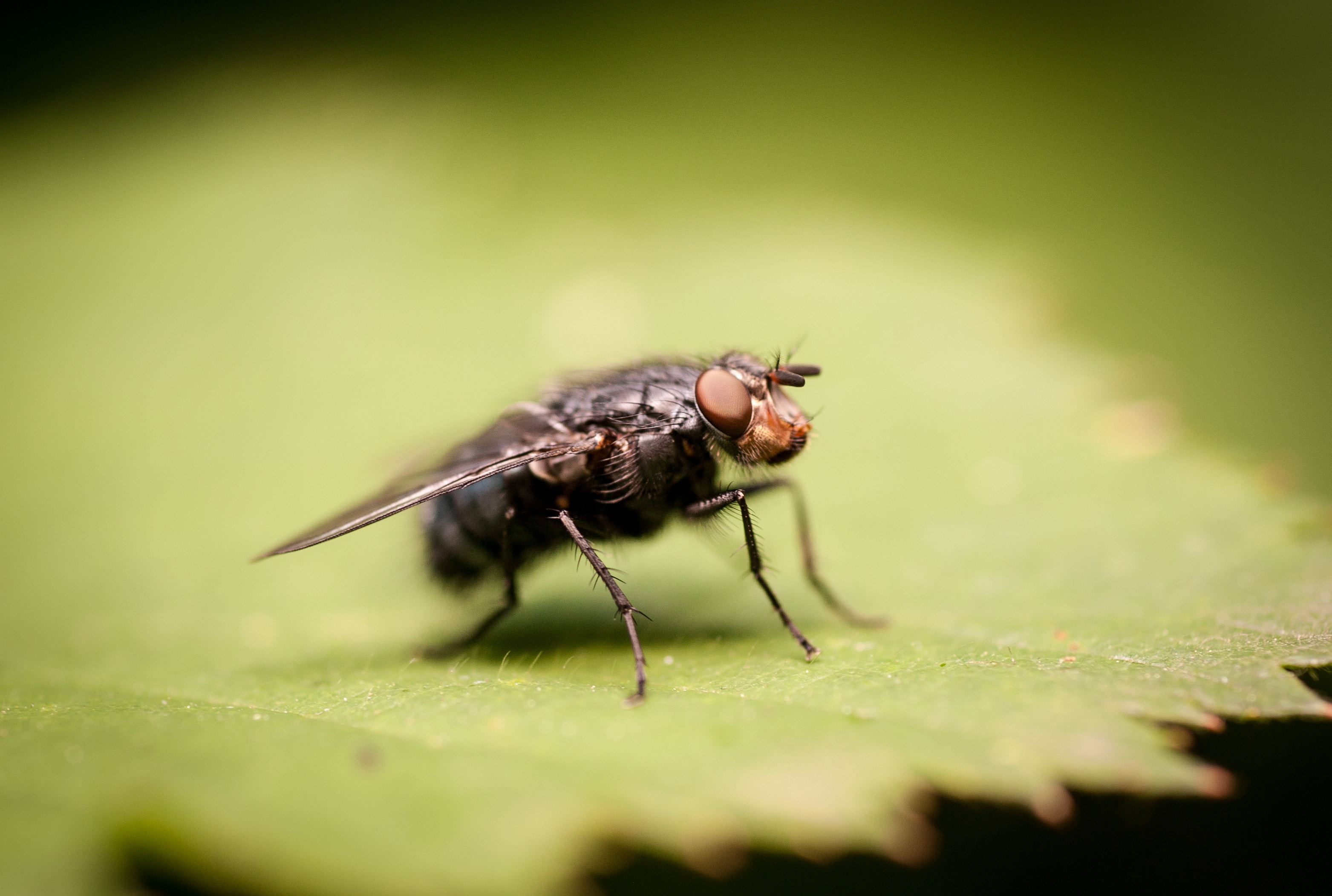Horse fly in a leaf