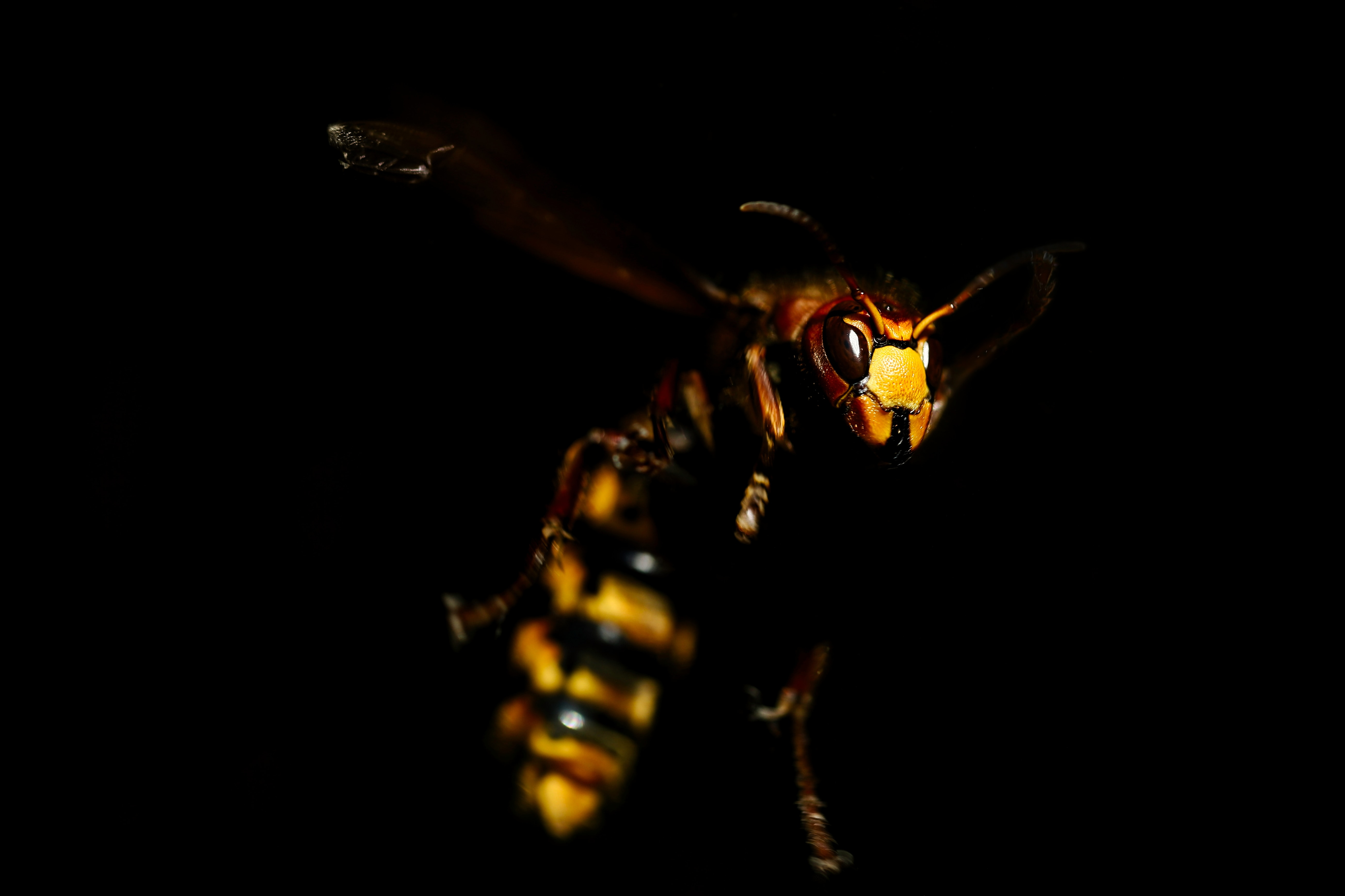 a flying wasp in mid air