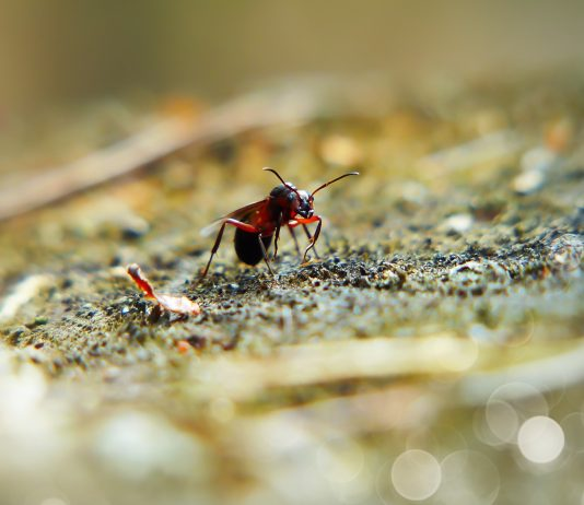 An ant eating a bait